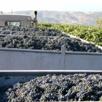 Truck_load_of_grapes_588_441