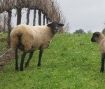 Sheep_170_128