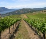 Vineyard_with_Clearlake_and_Mt_Konocti_to_the_left_170_128